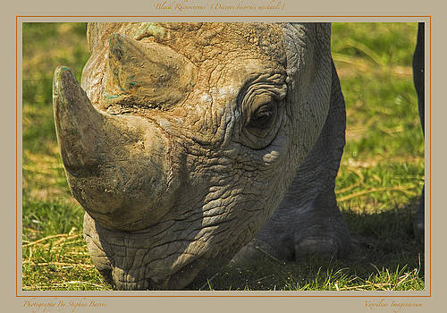 Stephen Barrie - Black Rhino    Diceros bicornis michaeli