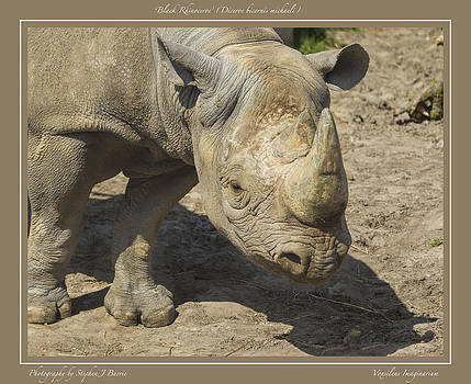 Stephen Barrie - Black Rhinoceros Diceros bicornis michaeli