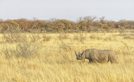 Paul W Sharpe Aka Wizard of Wonders - Black Rhinoceros Walking the Dry Plains