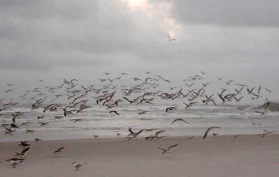 Black Skimmers on the beach at dawn by Julianne Felton