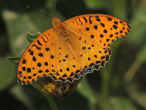 Black spotted yellow butterfly -   by Ramesh Chand