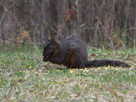 Black Squirel by Jennifer  King