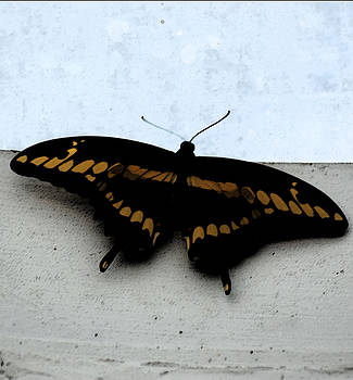 Joe Bledsoe - Black Swallowtail