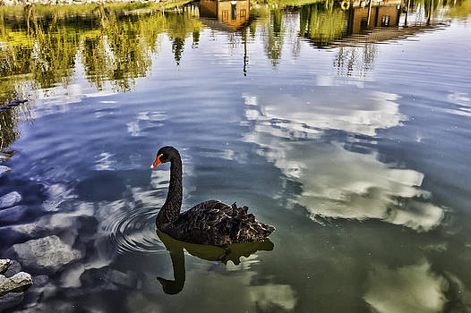 Black swan reflection by Valerii Tkachenko