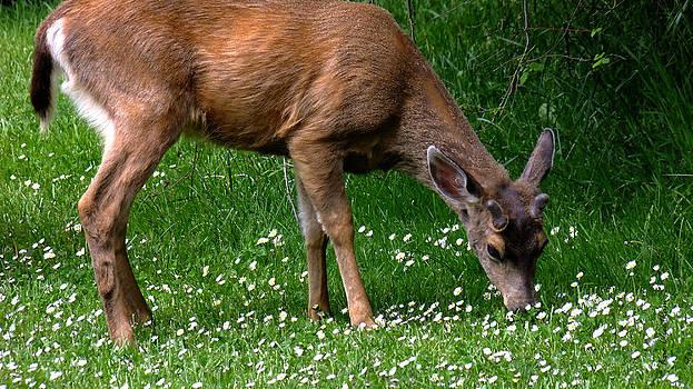 Kae Cheatham - Black-tail Deer in May