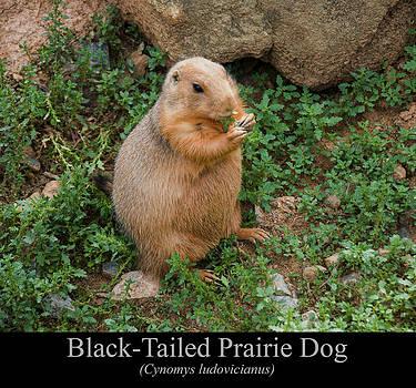 Chris Flees - Black Tailed Prairie Dog