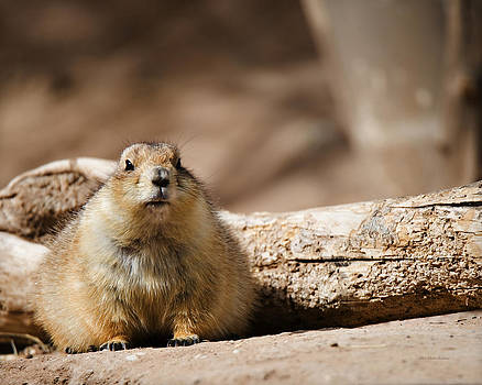 Black-tailed prairie dog_A by Walter Herrit