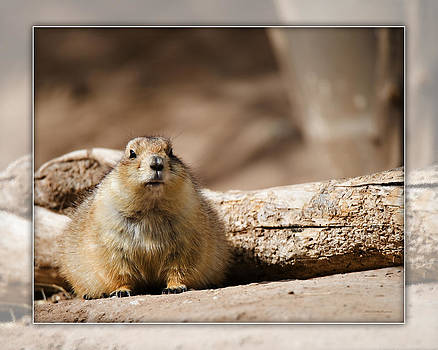 Black-tailed prairie dog_A2 by Walter Herrit