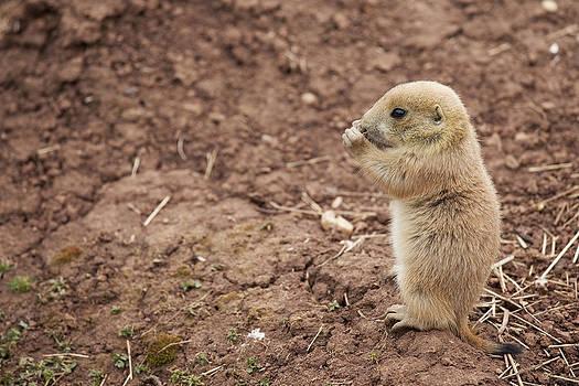 Black Tailed Prairie Marmot by Gillian Dernie