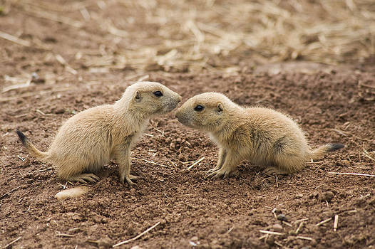 Black Tailed Prairie Marmots by Gillian Dernie