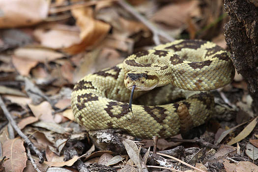 Black-tailed Rattlesnake by Brian Magnier
