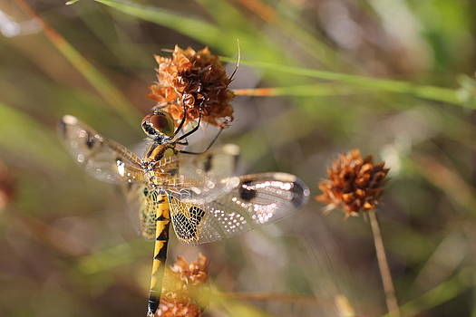 Black-tailed Skimmer Dragonfly by Lorri Crossno