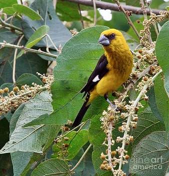 Heiko Koehrer-Wagner - Black-Thighed Grosbeak 2