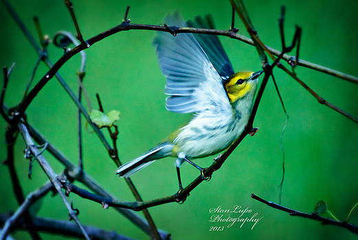Black-throated Green Warbler by Stanley Lupo