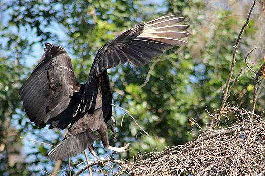 Black Vulture Landing by Marcia Crispino