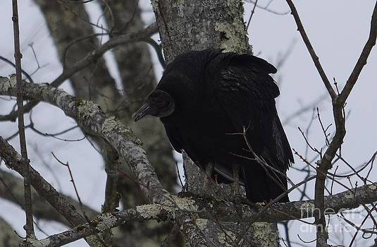 Black Vulture by Randy Bodkins