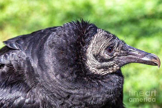 Black Vultures by Bernd Laeschke