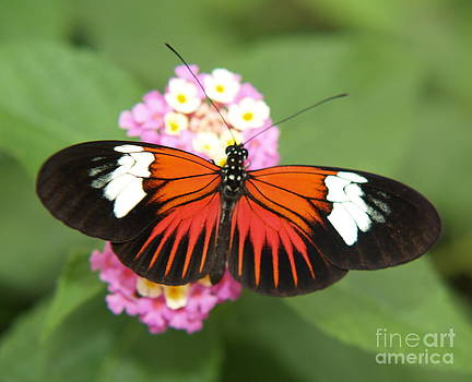Black White and Orange Butterfly by Melissa McDole