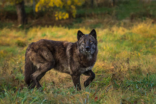 Black wolf in fall colors by Mark Steven Perry