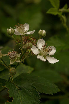Blackberry Flower by Linda Freebury