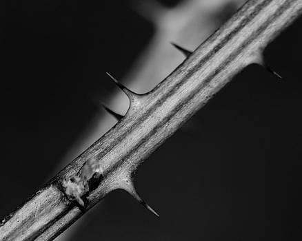 Scott Hovind - Blackberry Thorns