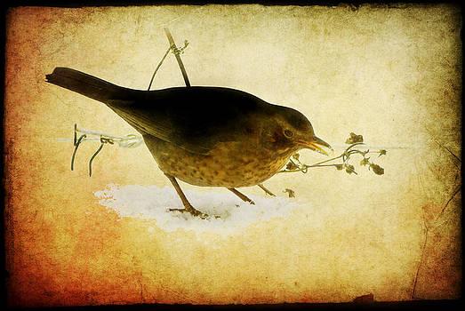 Blackbird under the feeding table by Steppeland -
