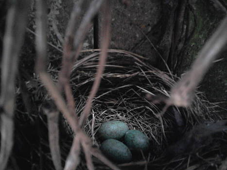 Blackbirds nest by Geoff Cooper