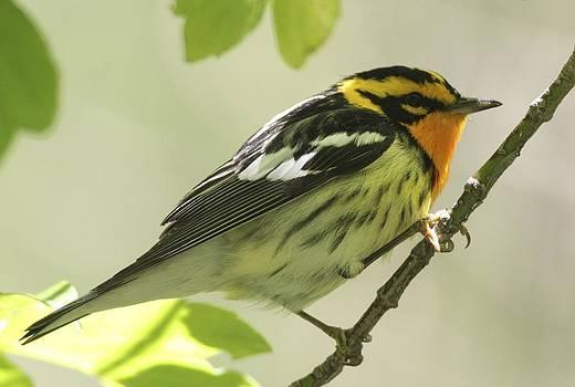Blackburnian Warbler by Joe Sweeney