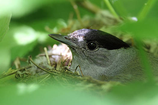 Blackcap on the nest by Alex Sukonkin