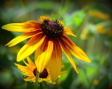 Blackeyed susan by Kerry Hauser