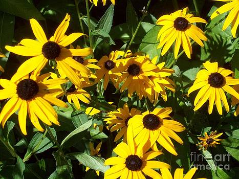 Blackeyed Susan by Michael Madlem