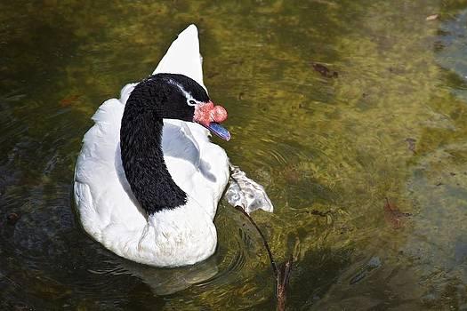 Regina  Williams  - Blacknecked Swan