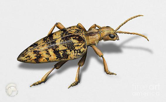 blackspotted pliers support beetle - Rhagium mordax -  gemarmerde eikenbok - Rhagie mordante by Urft Valley Art