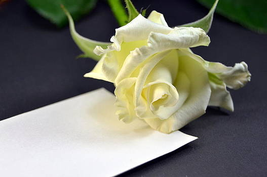 Blank card with a white rose  by Blanchi Costela
