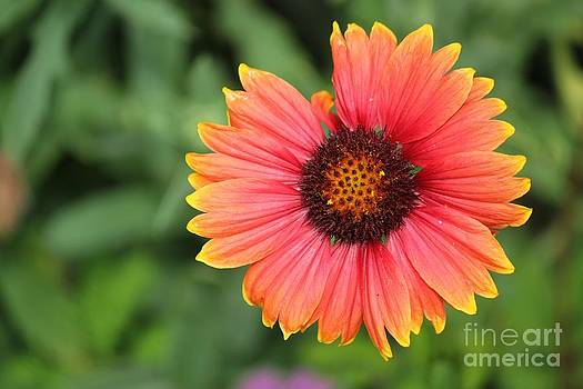 Blanket Flower by Theresa Willingham
