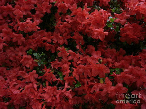 Blanket of Red by Kimbrella  Studio