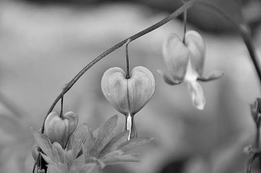 Bleeding Heart by BandC  Photography