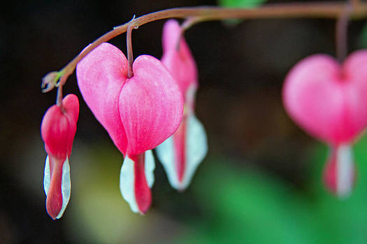 Bleeding Heart by Dana Moyer