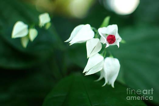 Bleeding Heart Vine Blossom by Floyd Menezes