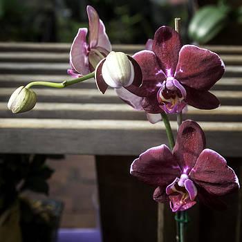 Lynn Palmer - Blood Red Orchid