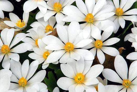Bloodroot Blooms by Cascade Colors
