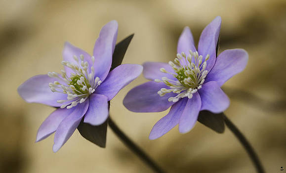 Minartesia - Blooming Blues