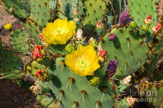Blooming Cactuses Cactaceae Opuntia by Kiril Stanchev