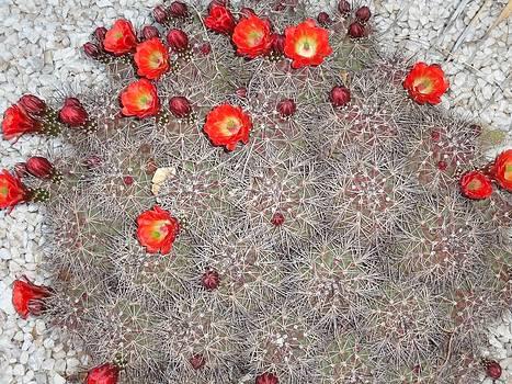 Blooming Hedgehog Cactus by Frederick R