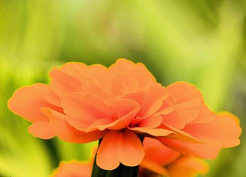 Maria Urso  - Blooming Marigold