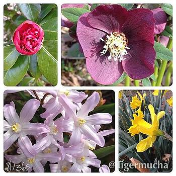 Blooming Today!  #camilla #hellebore by Teresa Mucha