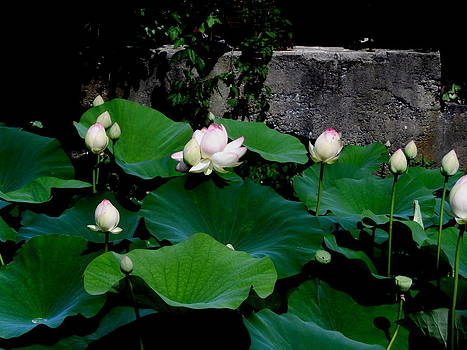 Kate Gallagher - Blooms and Buds Of The Lotus Flower