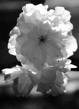 Robin Mahboeb - blossom