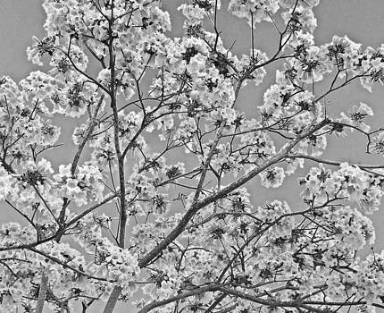 Blossoms in black-and-white by Mary McGrath