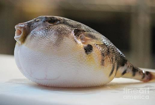 Blowfish 2 by Cynthia Snyder